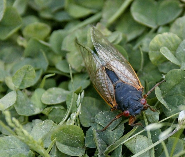 A cicada rests on the grass in Alexandria, Va. in May of 2004. (Stephen Jaffe, AFP Photo)