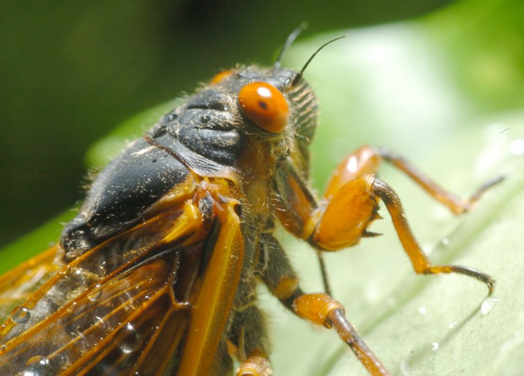 From a Columbia backyard, cicadas emerge by the thousands covering trees and shrubbery in 2004. (Doug Kapustin, The Baltimore Sun)