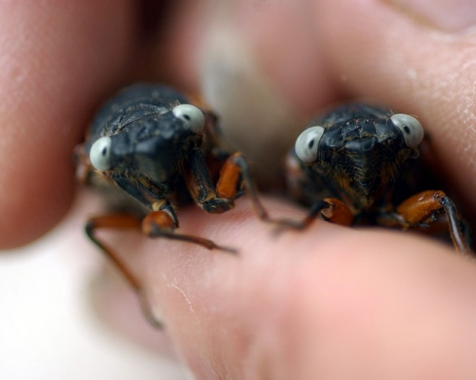 Two periodical cicadas with silver-blue eyes are photographed at the Maryland Department of Agriculture in 2004. (Nanine Hartzenbusch, The Baltimore Sun)