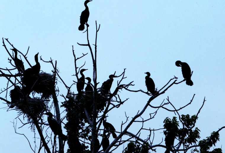 A flock of birds rest on top of a tree on the south end of Fort Carroll in 2004. (Chris Detrick, The Baltimore Sun)