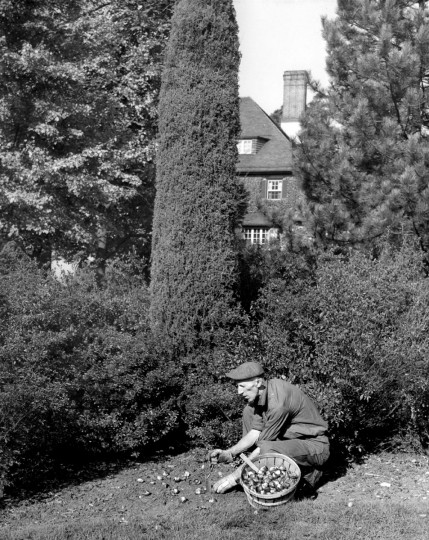 Clarence Hammond, chief gardner at Sherwood Gardens planting tulip bulbs in 1946 (Baltimore Sun File Photo)