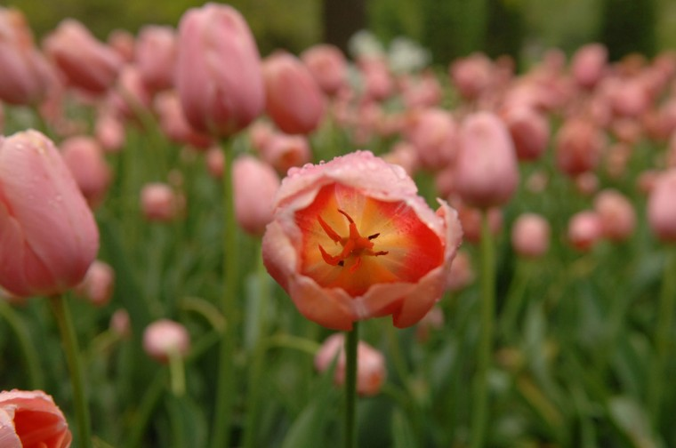 Tulips showcase the colors of spring in Guilford's Sherwood Garden in 2011. (Jerry Jackson, The Baltimore Sun)