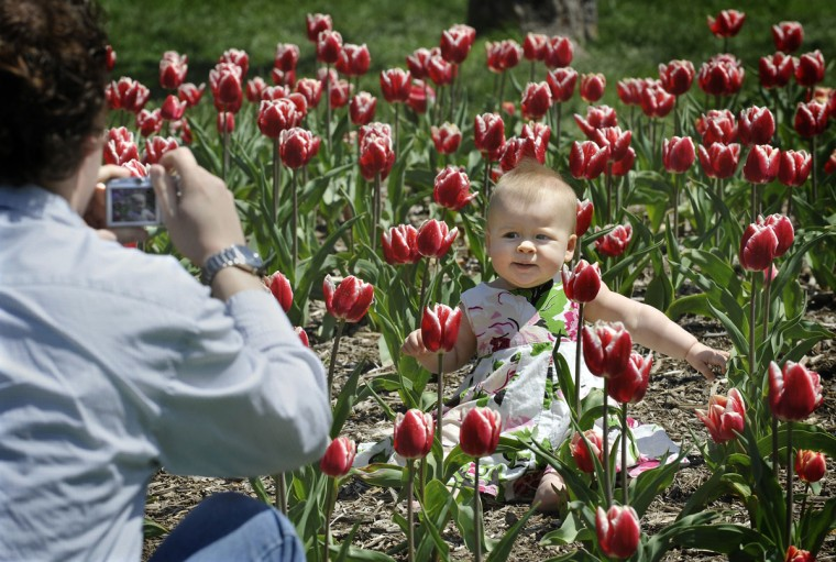 Ten-month-old Sarah Chiles of Mays Chapel puts up with her dad Rob taking pictures in Sherwood Gardens amidst some striking tulips in 2009. (Jeb Kirschbaum, The Baltimore Sun)