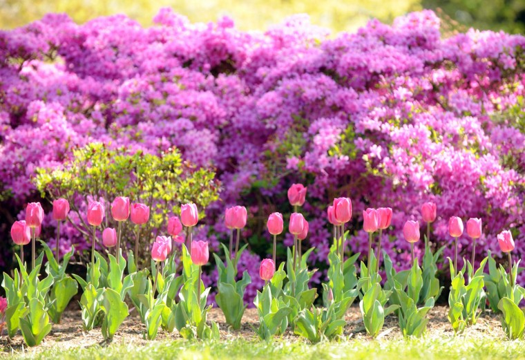 A bed of tulips are seen in bloom at Sherwood Gardens in Baltimore, Md., on Saturday, April 7, 2012.