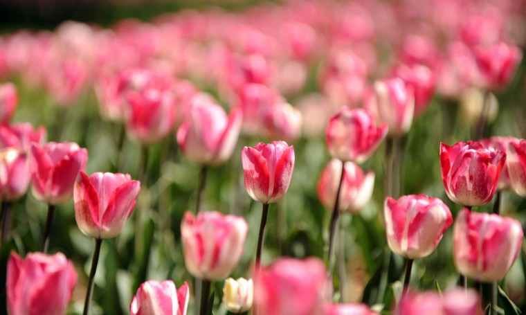 A view of a bed of pink tulips in bloom at Sherwood Gardens in Baltimore, Md., on Saturday, April 7, 2012. (Brian Krista, The Baltimore Sun Media Group)