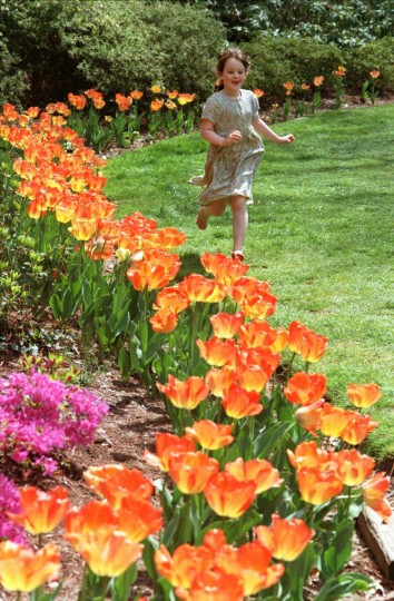 Hannah Walsh, 5, running along a curving bed of unusual orange tulips and fuchsia azaleas, came to Sherwood Gardens in 1997 with her mother and two younger brothers. They walked from their home in Radnor-Winston neighborhood. (Amy Davis, The Baltimore Sun)