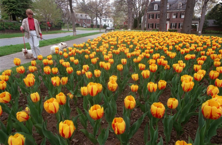 Helen McGill of Guilford, walks her West Highland terriers near a bed of vivid yellow and red tulips in 1997. (Amy Davis, The Baltimore Sun)