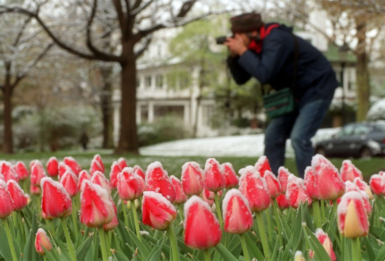 An overnight storm left the tulips in Sherwood Gardens with a light layer of wet snow in 2000. Gustave McManus got out early to see and photograph the display before it disappeared. (Jerry Jackson, The Baltimore Sun)