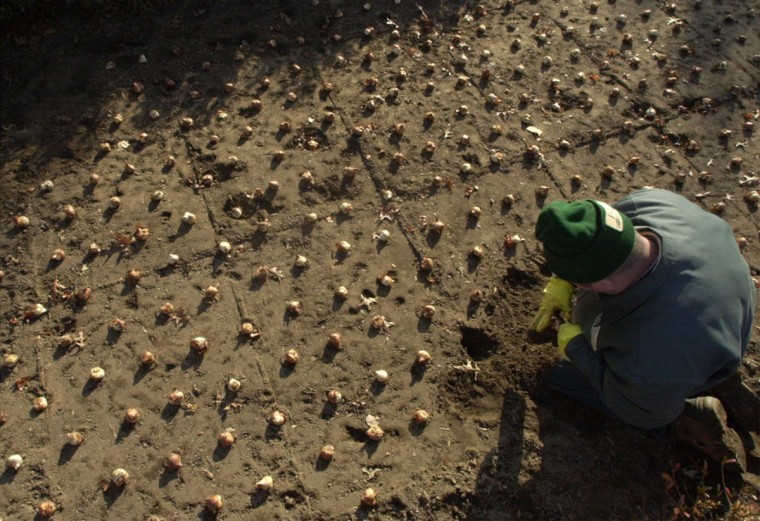 Mike Weischeldorfer of the Baltimore Association of Retarded Citizens plant some of the 76,000 bulbs in the flower beds of Sherwood gardens in 2000. (John Makely, The Baltimore Sun)