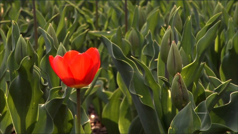 Some of the beds at Sherwood Gardens had a large number of tulip bulbs failed to bloom in 2007. (John Makely, The Baltimore Sun)