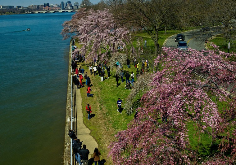 April 6, 2013: Tourists gather around blooming Cherry trees near the Potomac River in Washington, DC. A handful of the trees are in full bloom as unseasonably cool temperatures have kept most from flowering. (Karen Bleier/AFP/Getty Images)