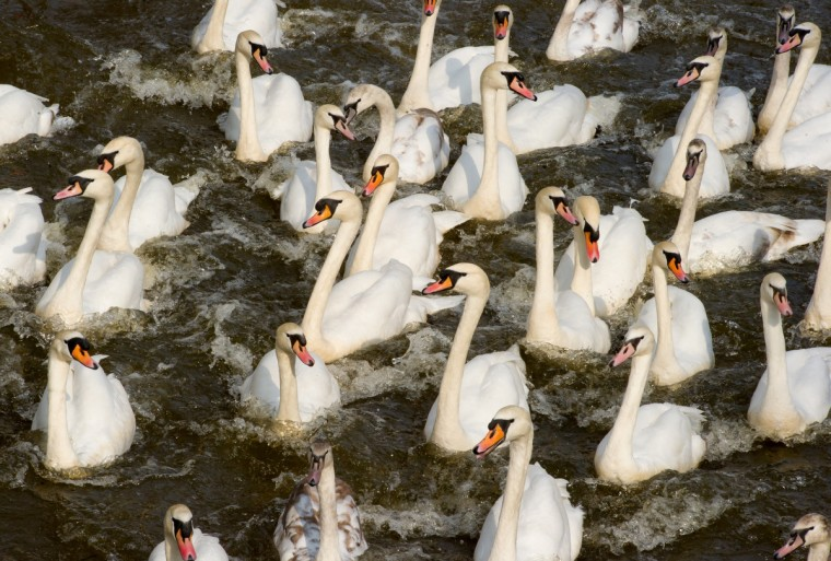 Swans swim on the river Alster in Hamburg, northern Germany. The swans are brought to their summer residence after having spent the winter season at a smaller lake. (Sven Hoppe/Getty Images)