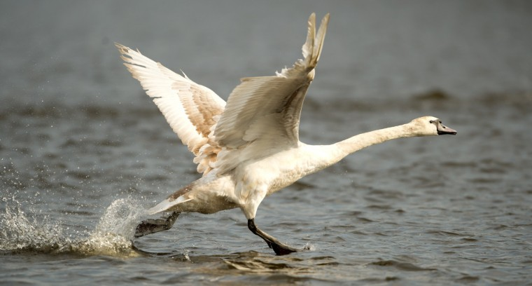 A swan takes off on the river Alster in Hamburg, northern Germany. Around 120 swans are brought to their summer residence after having spent the winter season at a smaller lake. (Sven Hoppe/Getty Images)