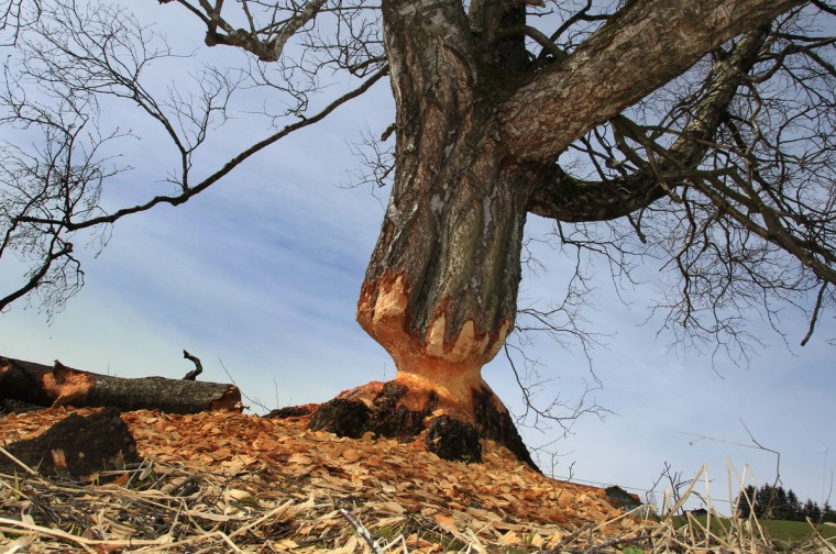 A birch gnawed by beavers stands near Lengenwang, southern Germany. 120 beavers have been resettled in southern parts of Germany since 1979. (Karl-Josef Hildenbrand/Getty Images)
