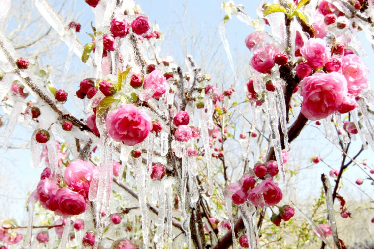 Ice hangs on flowers in a garden in Hami, northwest China's Xinjiang Uygur Autonomous Region. A sharp temperature decrease has hit this area following a strong cold air. (Getty Images)