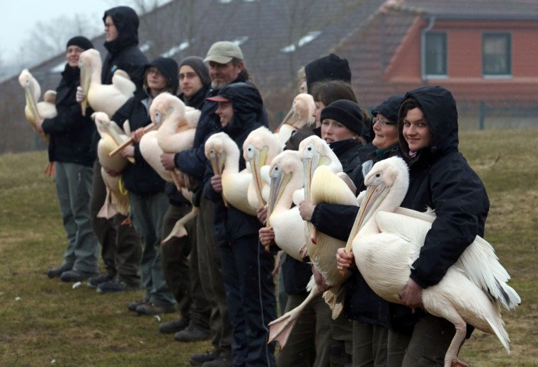Pelicans are to be released into their outdoor enclosure at the birds park in Marlow, eastern Germany. The park is expecting this year's first stampede of visitors for the upcoming weekend. (Bernd Wuestneck/Getty Images)