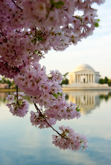 The Jefferson Memorial is seen with cherry blossoms at the Tidal Basin in Washington, DC. The blossoms are now at their peak. Thomas Jefferson was the principal author of the Declaration of Independence (1776) and the third President of the United States. (Karen Bleier/Getty Images)