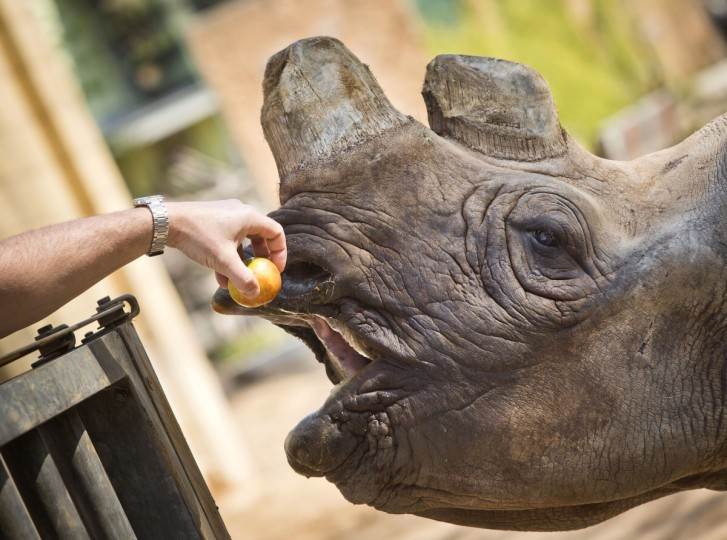Black rhino Tororo gets an apple from her keeper on April 18, 2013 at the zoo in Frankfurt am Main, western Germany. (Frank Rumpenhorst/Getty Images)