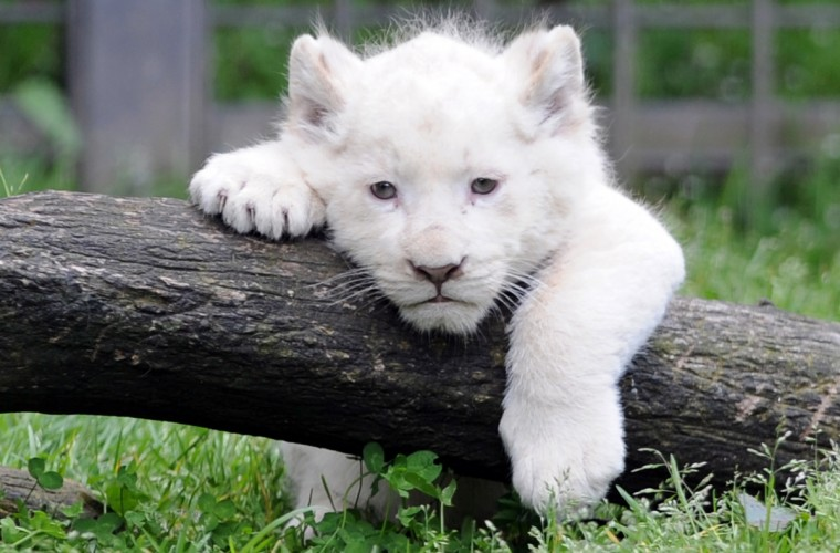 This picture taken on April 18, 2013 shows a white lion cub in his pen at the Pont-Scroff's zoo in Pont-Scorff, western France. Three lion cubs, two males and a female, were born on February 23 and were shown for the first time to the public on April 17.(Fred Tanneau/Getty Images)