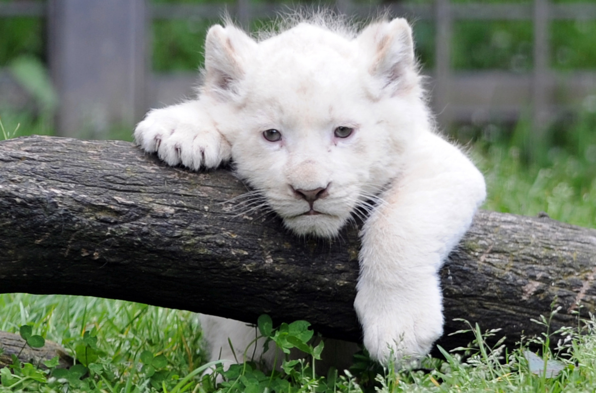 April 18 Photo Brief: A white lion cub hangs out, hairdressing art in the Ukraine and spring flooding in Illinois