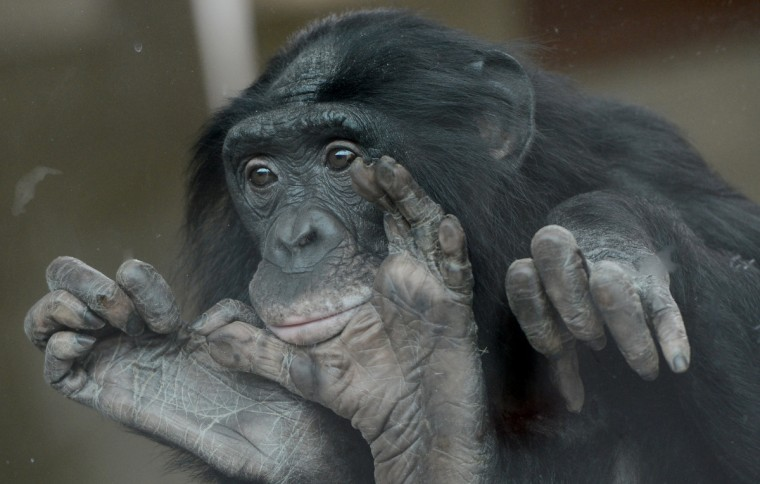 A bonobo looks through a window at the Wilhelma zoo in Stuttgart, southern Germany. The bonobos of the zoo just have moved to a new indoor enclosure. In the wild, the great apes live in the Congo Basin in Africa. (Franziska Kraufmann/Getty Images)