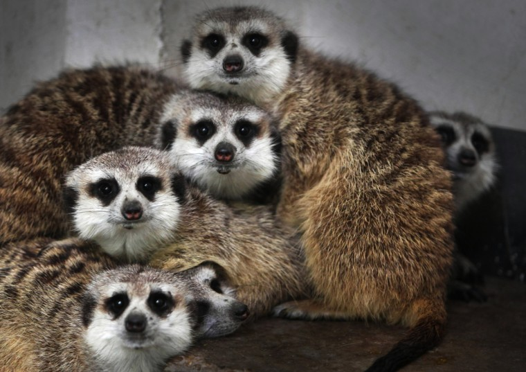 Meerkats (suricata suricatta) gather in a corner of their enclosure in Changshang Ecological Zoo in Changsha, central China's Hunan province. The meerkat is a small mammal belonging to the mongoose family. Meerkats live in all parts of the Kalahari Desert in Botswana, in much of the Namib Desert in Namibia and southwestern Angola, and in South Africa. (Getty Images)