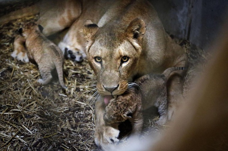 Cubs of Tia, a lioness, huddle close together in their enclosure in the Emmen Zoo in Emmen, The Netherlands, on April 26, 2013. The four cubs were born on April 7. (Catrinus Van der Veen/AFP/Getty Images)