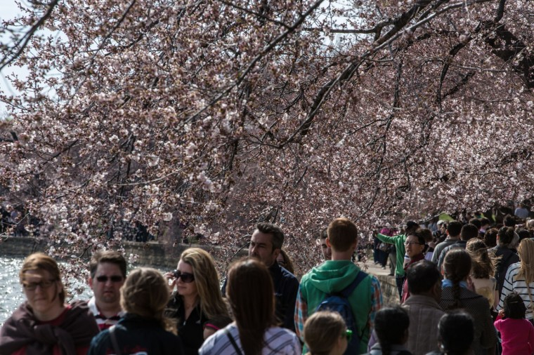 April 7, 2013: People stroll around the Tidal Basin where cherry trees are just beginning to bloom in Washington, DC. (Brendan Hoffman/Getty Images)