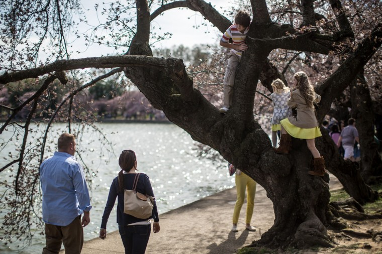 April 7, 2013: Children climb in a cherry tree at the Tidal Basin where the trees are just beginning to bloom in Washington, DC. (Brendan Hoffman/Getty Images)