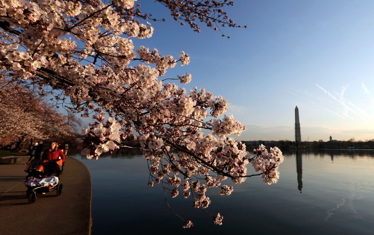April 8, 2013: Cherry blossoms bloom on the edge of the Tidal Basin after a colder than normal March and chilly April delayed the beginning of the cherry blossom season in the nation's capital in Washington, DC. (Win McNamee/Getty Images)