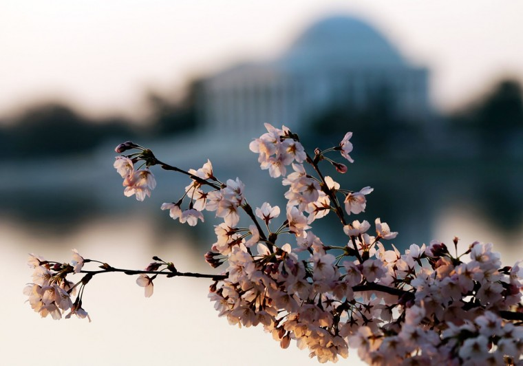 April 8, 2013: Cherry blossoms bloom on the edge of the Tidal Basin after a colder than normal March and chilly April delayed the beginning of the cherry blossom season in the nation's capital. (Win McNamee/Getty Images)