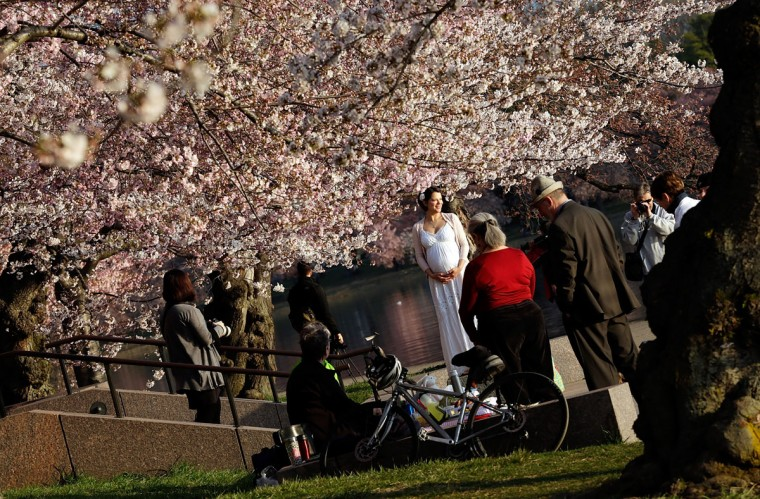 April 8, 2013: Cherry blossoms bloom on the edge of the Tidal Basin after a colder than normal March and chilly April delayed the beginning of the cherry blossom season in the nation's capital. (Photo by Win McNamee/Getty Images)