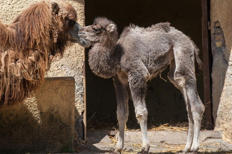 New born camel 'Amelia' is seen with her mother at the Bioparco zoo on April 10, 2013 in Rome, Italy. Amelia, a female Bactrian camel, was born on March 25. (Giorgio Cosulich/Getty Images)