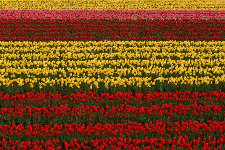 A view of a tulip field in full bloom at the Tanto Tulip Festival in Toyooka, Hyogo, Japan. Hundreds of thousands of tulips in three hundred varieties are displayed at the popular Spring flower festival at Tanto Tulip field in Hyogo Prefecture. (Buddhika Weerasinghe/Getty Images)