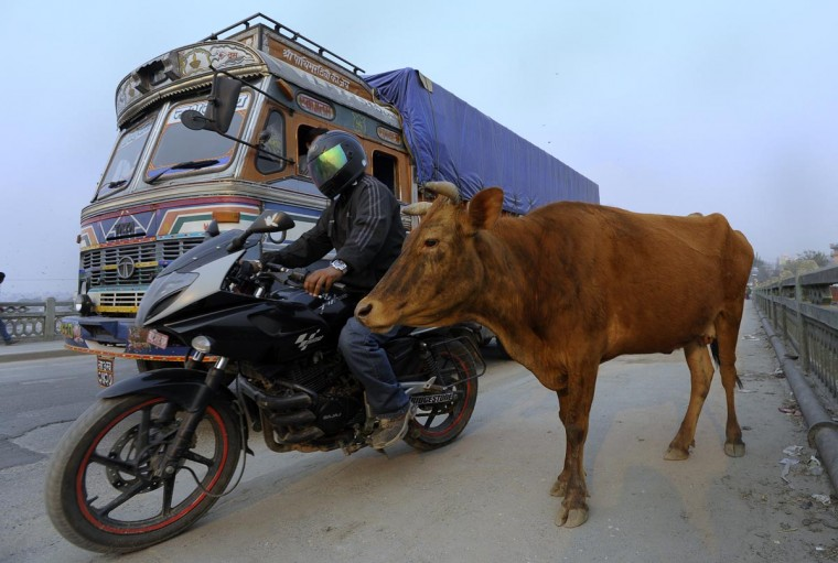 Vehicles pass a cow on a street in Kathmandu on April 2, 2013. Police in Nepal's capital Kathmandu have launched a campaign to round up cows roaming the streets, blaming the sacred animals for car accidents and traffic jams. (Prakash Mathema/AFP/Getty Images)