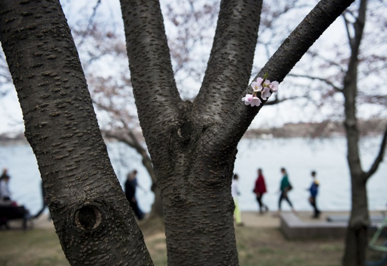 April 7, 2013: Tourists walk along the Tidal Basin beneath cherry blossoms in Washington. (Brendan Smialowski/AFP/Getty Images)