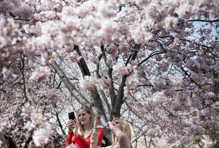 April 7, 2013: Tourists photograph cherry blossoms along the Tidal Basin in Washington. (Brendan Smialowski/AFP/Getty Images)