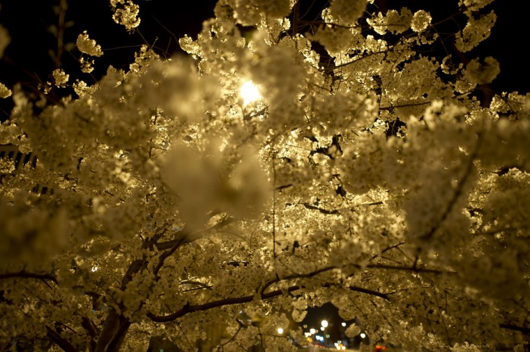 April 08, 2013: A Cherry tree in bloom is seen at Scott circle in downtown Washington. (Mladen Antonov/AFP/Getty Images)