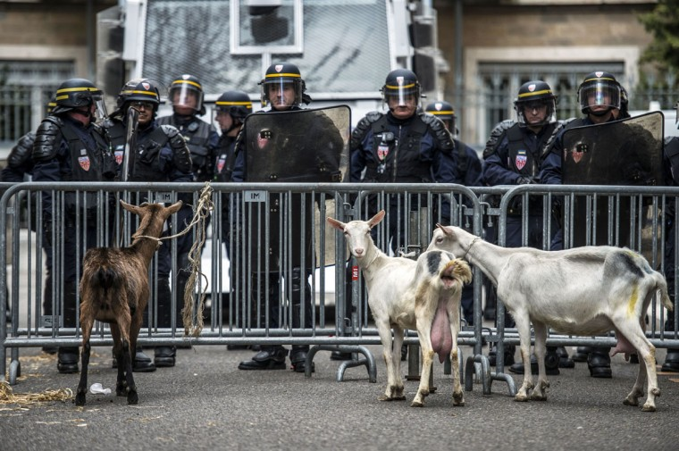 Goats are tied on a barricade as policemen stand guard in front of the prefecture in Lyon, as part of a protest called by the local farmers' union FDSEA to demand higher wages. (Jeff Pachoud/AFP/Getty Images)