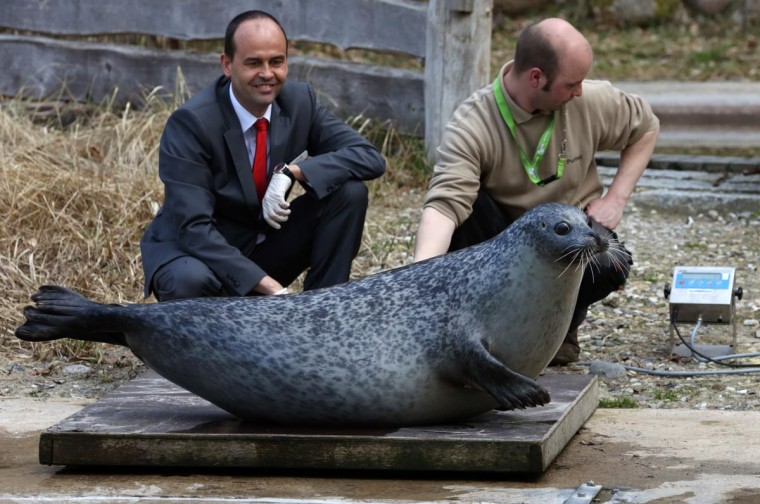"Seal ""Susanne"" sits on the scales as her keeper Lars Purbst (R) and Thomas Metzke from the sponsoring OstseeSparkasse bank look on, April 15, 2013 during a spring check at the zoo in Rostock, northeastern Germany. ""Susanne"" is weighing 104 kilos. (Bernd Wuestneck/AFP/Getty Images)"