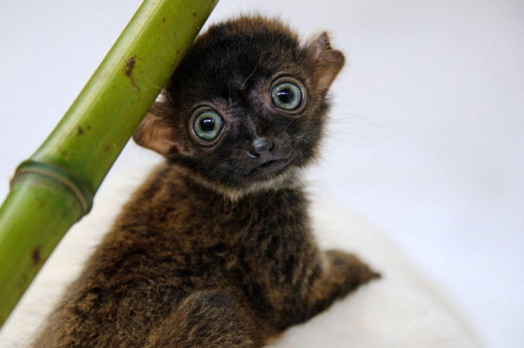 """Dimbi,"" a blue-eyed black lemur cub (Eulemur flavifrons) is pictured at the zoo of Mulhouse, northeastern France. There's currently less than 2,000 blue-eyed black lemurs into the wild. (Sebastien Bozon/AFP/Getty Images)"