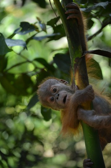 An endangered six month old male baby orangutan, rescued from a pet owner, learns to climb a tree while undergoing rehabilitation at the Sumatran Orangutan Conservation Program quarantine area in Sibolangit village located in Indonesia's Sumatra island on April 8, 2013. According to environmentalists, poachers kill or maim mother orangutans to take their babies. Experts believe there are about 50,000 to 60,000 of the two species of orangutans left in the wild, 80 percent of them in Indonesia and the rest in Malaysia. They are faced with extinction from poaching and the rapid destruction of their forest habitat, mainly to create palm oil plantations. (Romeo Gacad/AFP/Getty Images)