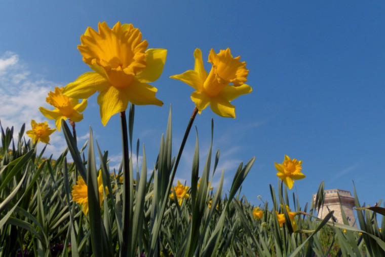 Daffodils reach into the sky at the southeastern portion of Druid Lake reservoir. Springtime flora and fauna in the Baltimore area Thursday, Apr. 18, 2013. (Karl Merton Ferron/Baltimore Sun Staff)