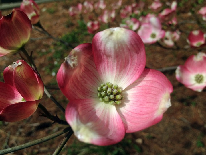 A pink dogwood tree at Ruscombe Mansion for springtime greenery in the Baltimore area Sunday, Apr. 21, 2013. (Karl Merton Ferron/Baltimore Sun Staff)