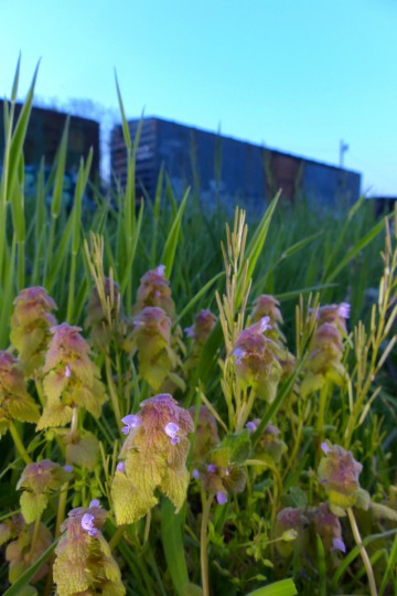 Purple deadnettle rise among the grasses along railroad cars at the end of Fulton Street for springtime greenery in the Baltimore area Wednesday, Apr. 24, 2013. (Karl Merton Ferron/Baltimore Sun Staff)