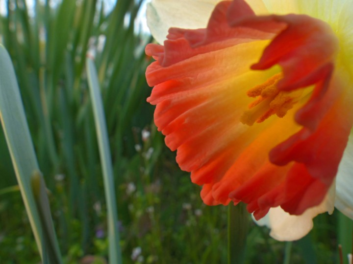 An Einstein daffodil at the Arboretum in the Baltimore area Thursday, Apr. 18, 2013. (Karl Merton Ferron/Baltimore Sun Staff)