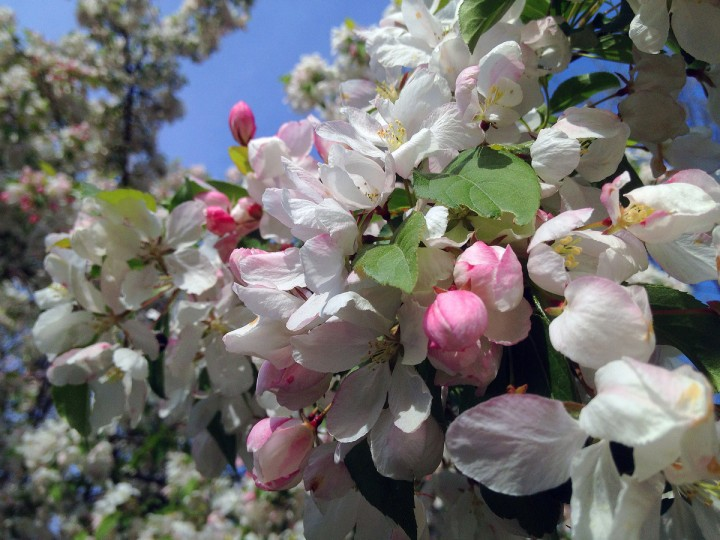Blossoming crabapple tree on Yellowwood Avenue for springtime greenery in the Baltimore area Sunday, Apr. 21, 2013. (Karl Merton Ferron/Baltimore Sun Staff)