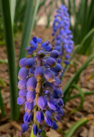 Flowers, called Muscari, or Grape Hyacinth, grow at Harbor East. (Karl Merton Ferron/Baltimore Sun Staff)
