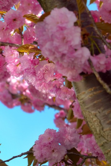 A type of double blossom cherry tree on Industry Lane. Springtime flora and fauna in the Baltimore area Tuesday, Apr. 23, 2013. (Karl Merton Ferron/Baltimore Sun Staff)