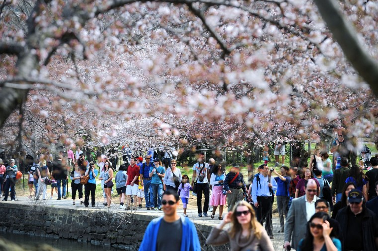 April 8, 2013: Cherry blossoms bloom on the edge of the Tidal Basin after a colder than normal March and chilly April delayed the beginning of the cherry blossom season in the nation's capital. (Olivier Douliery/Abaca Press/MCT)